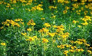 marigolds traditional healing plants